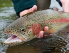 rainbowtrout_mendless_2